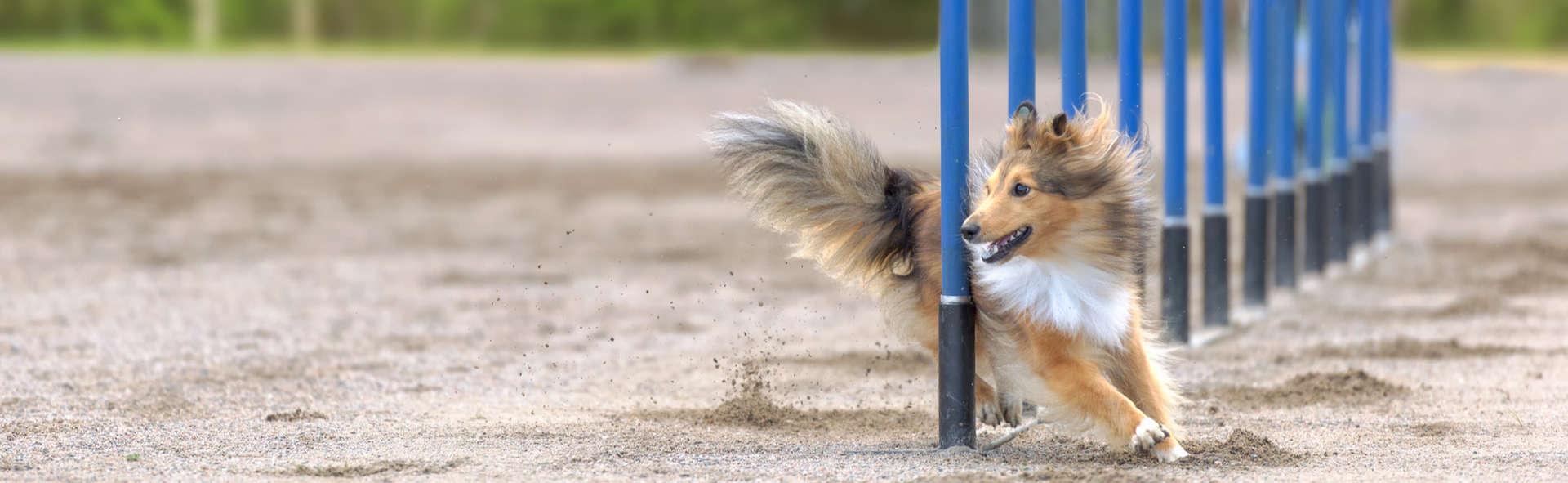 Dog Agility Training Aurora IL